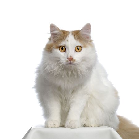 Siberian in front of a white background Stock Photo - 832672