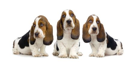 Basset Hound Puppies in front of white background photo