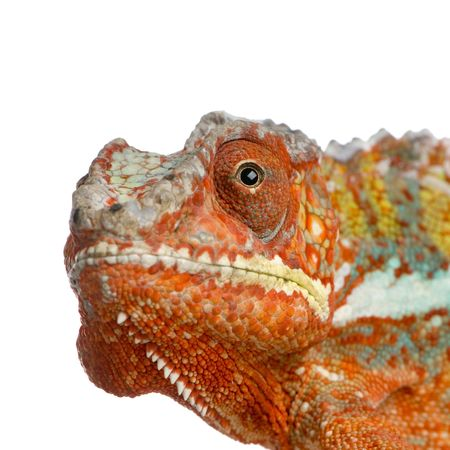 close-up on a Chameleon Furcifer Pardalis in front of a white background and looking at the camera