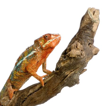 Chameleon Furcifer Pardalis in front of a white background photo