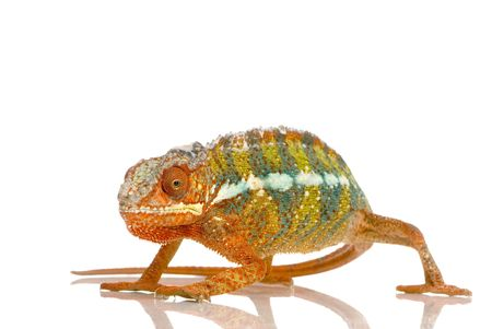 reptilian: Chameleon Furcifer Pardalis in front of a white background Stock Photo
