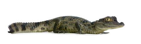 reptilian: young Spectacled Caiman devant un fond blanc Stock Photo
