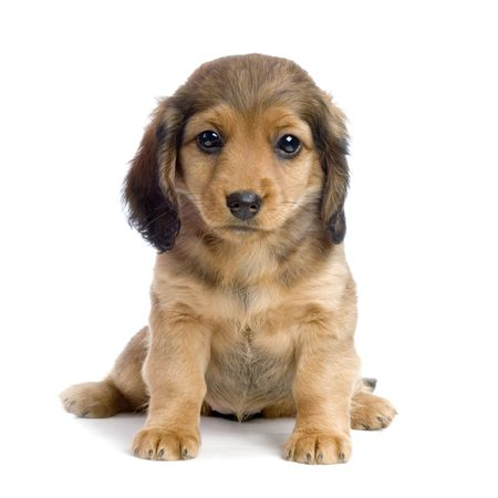 Dachshund puppy in front of white background photo