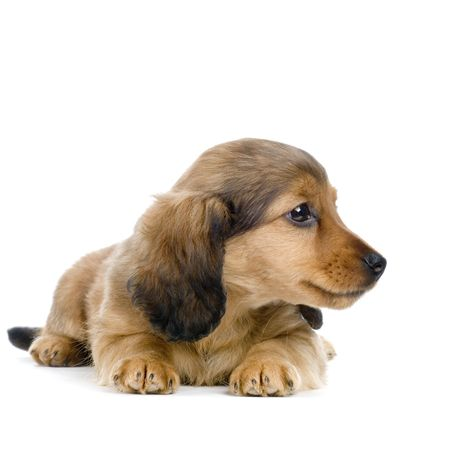 Dachshund puppy in front of white background photo
