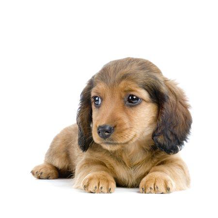 Dachshund puppy in front of white background