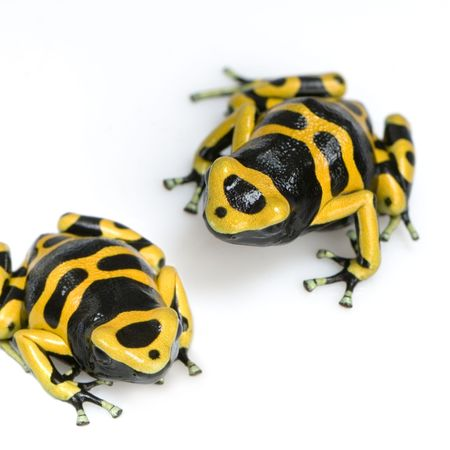 yellow and Black Poison Dart Frog in front of a white background