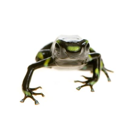 Green and Black Poison Dart Frog in front of a white background photo