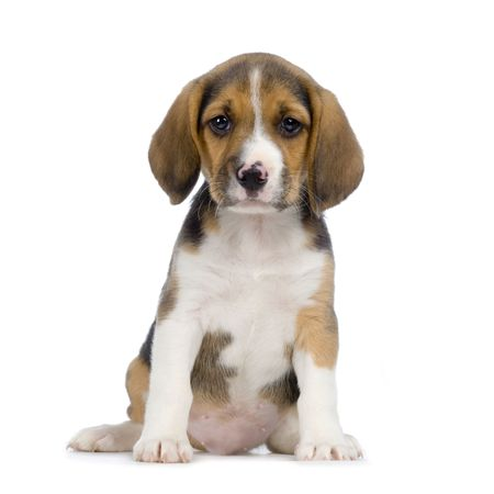 Puppy Beagle in front of white background photo
