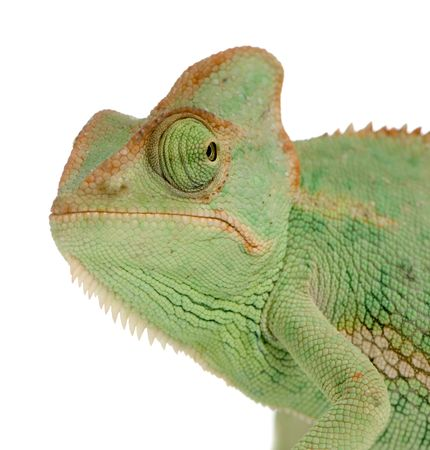 close-up on a Yemen Chameleon in front of a white background and seems to look at the camera