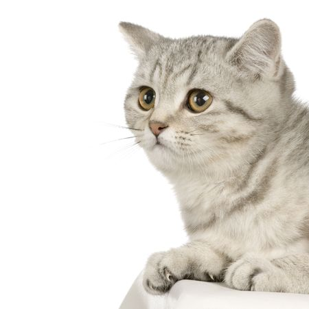 British Shorthair in front of a white background photo