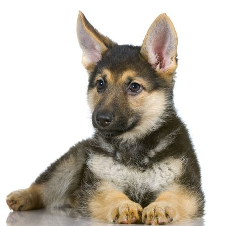 german shepherd puppy lying down in front of white background photo