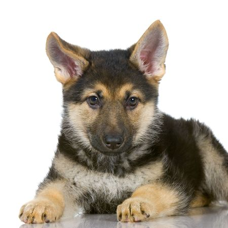 german shepherd puppy lying down in front of white background