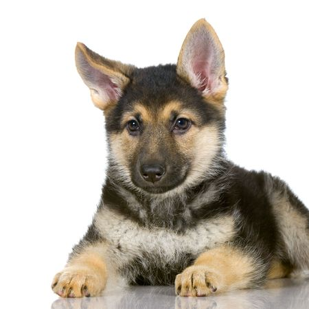 german shepherd puppy lying down in front of white background Stock Photo - 834545