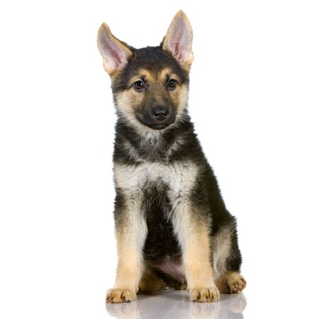 german shepherd puppy sitting in front of white background photo