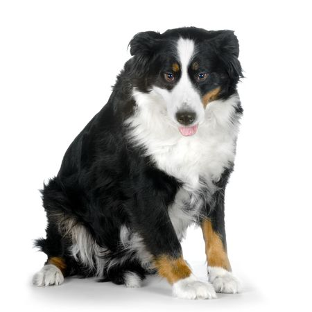 Bernese mountain dog sitting in front of white background Stock Photo - 848233