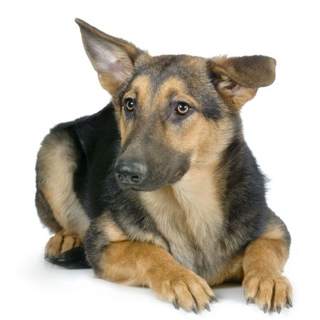 german shepherd lying doxn in front of a white background Stock Photo - 848236