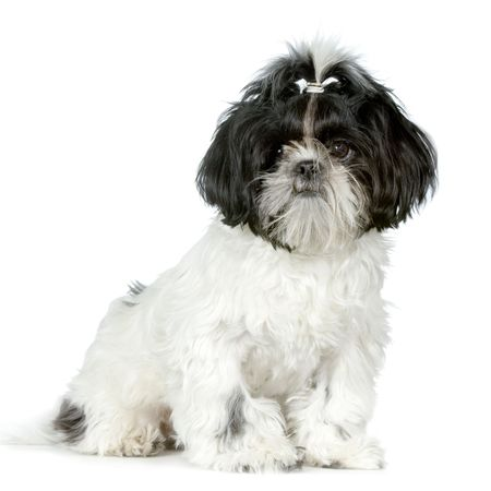 Shih Tzu in front of white background and facing the camera photo