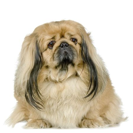 Pekinese in front of a white background