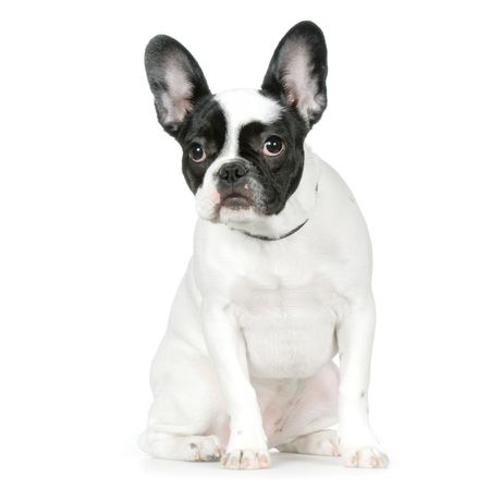 ugliness: french Bulldog in front of a white background