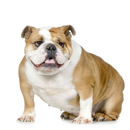 ugliness: english Bulldog cream and white stitting in front of a white background
