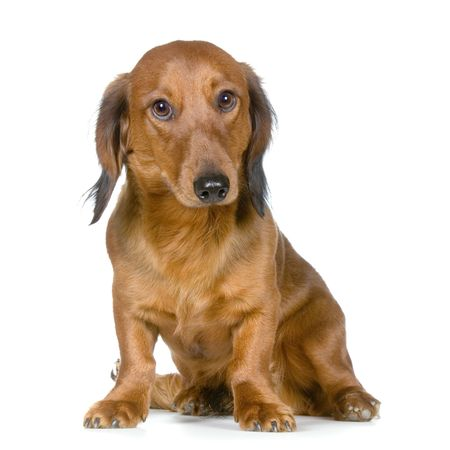 Dachshund in front of a white background looking at the camera