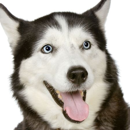 Siberian Husky in front of a white background photo