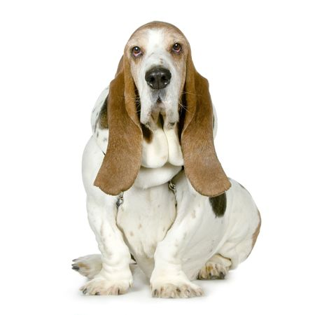 Basset Hound in front of a white background photo