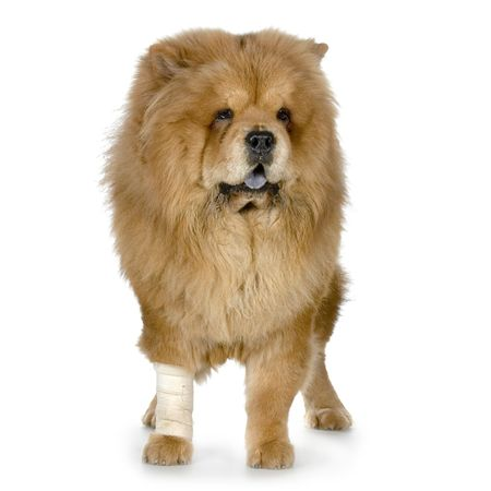 sufferer: Chow Chow in front of a white background Stock Photo