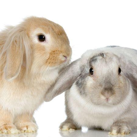 tame: primer en un conejo del Lop delante de un fondo blanco
