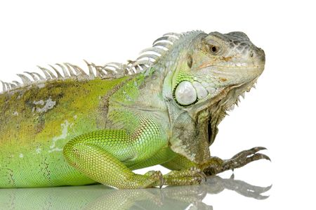 primal: close-up on a iguana in front of a white background