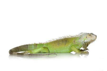 iguana in front of a white background Stock Photo