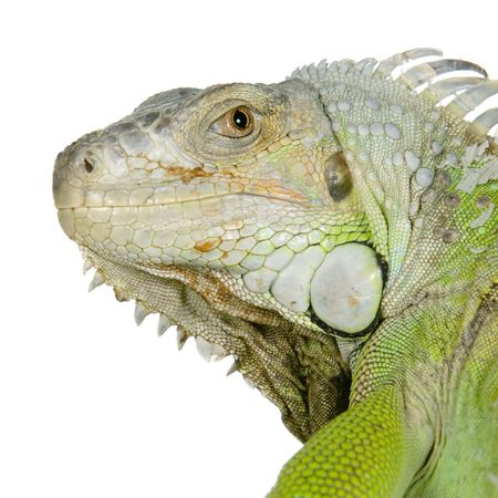 reptilian: close-up on a iguana in front of a white background