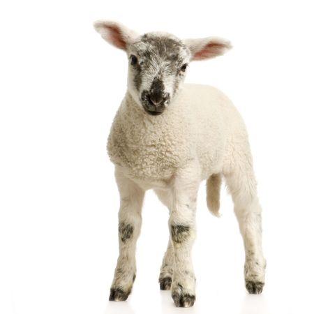 pasen schaap: Lam staand, geïsoleerd op een witte achtergrond