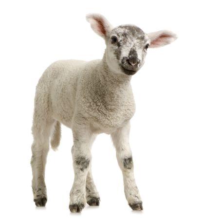 pasen schaap: Lamb opstaan, geïsoleerd op een witte achtergrond Stockfoto