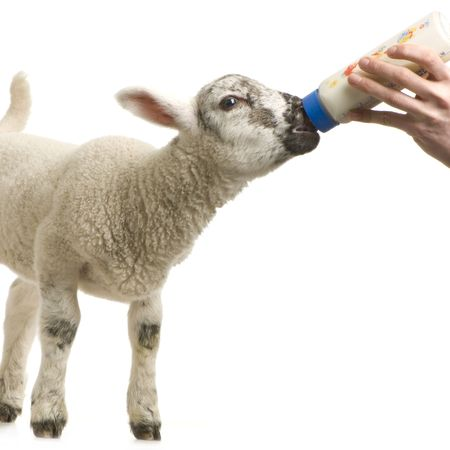 paschal: Lamb standing up, isolated on a white background