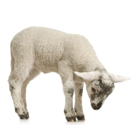 Lamb looking down, isolated on a white background photo