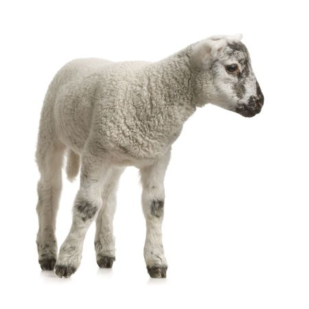 Lamb standing up, isolated on a white background photo