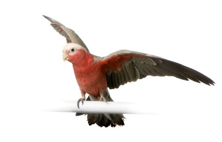 Galah in front of a white background photo