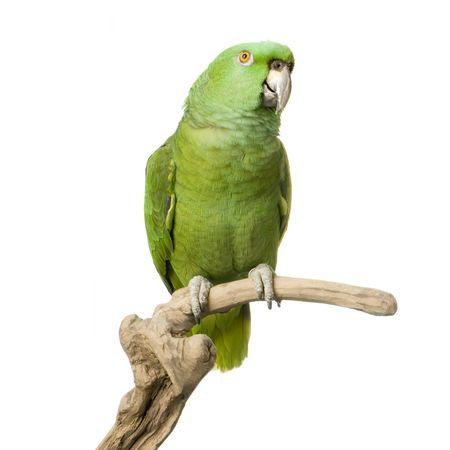 loros verdes: Loro Nuquiamarillo delante de un fondo blanco