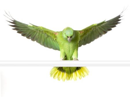 green parrot: Yellow-naped Parrot in front of a white background