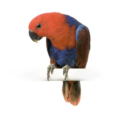 female Eclectus Parrot in front of a white background Stock Photo - 854723