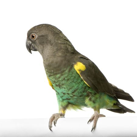 Meyers Parrot in front of a white background photo