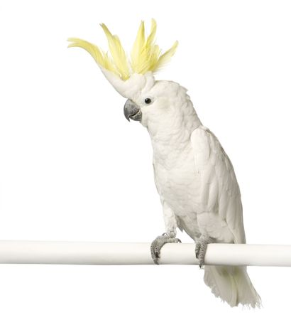 Cockatoo in front of a white background photo