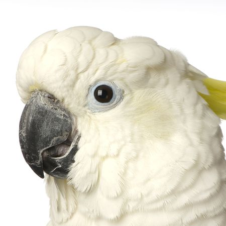 Cockatoo in front of a white background Stock Photo - 854715