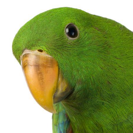 tame: Eclectus Parrot delante de un fondo blanco