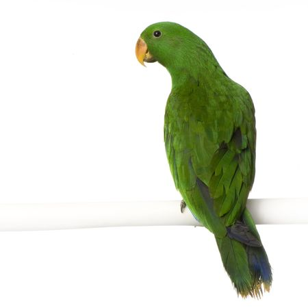 eclectus: Eclectus Parrot in front of a white background