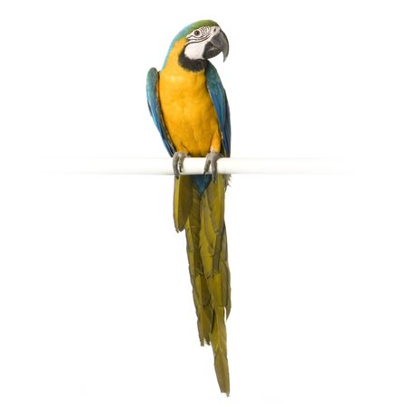 Blue-and-yellow Macaw in front of a white background Stock Photo - 854709