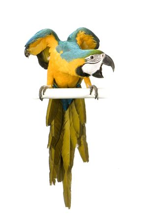 parrot: Blue-and-yellow Macaw in front of a white background