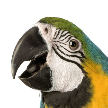 Blue-and-yellow Macaw in front of a white background Stock Photo - 854706