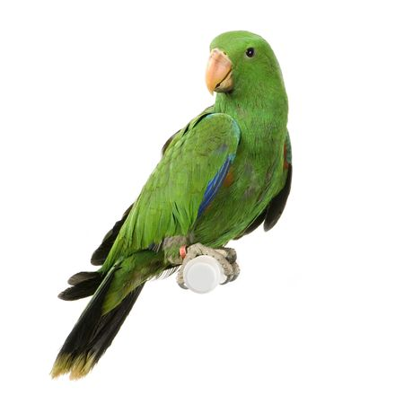 loros verdes: Eclectus Parrot delante de un fondo blanco